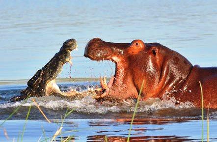 hippo-crocodile_1887702i